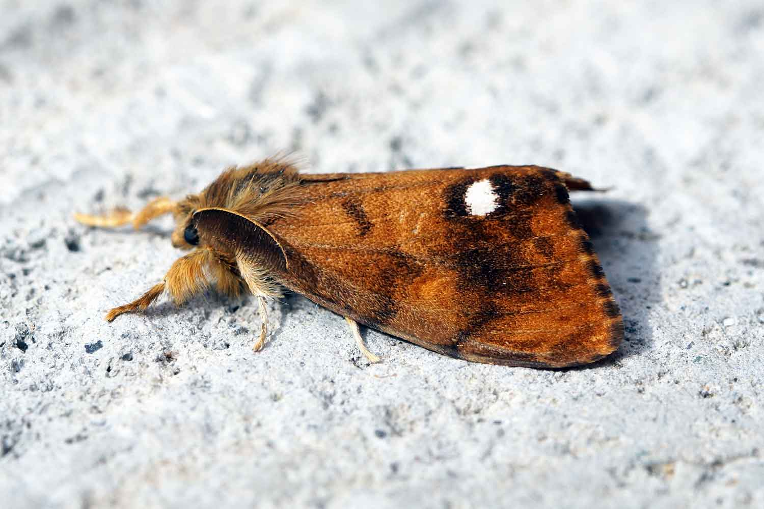 vapourer moth national insect week