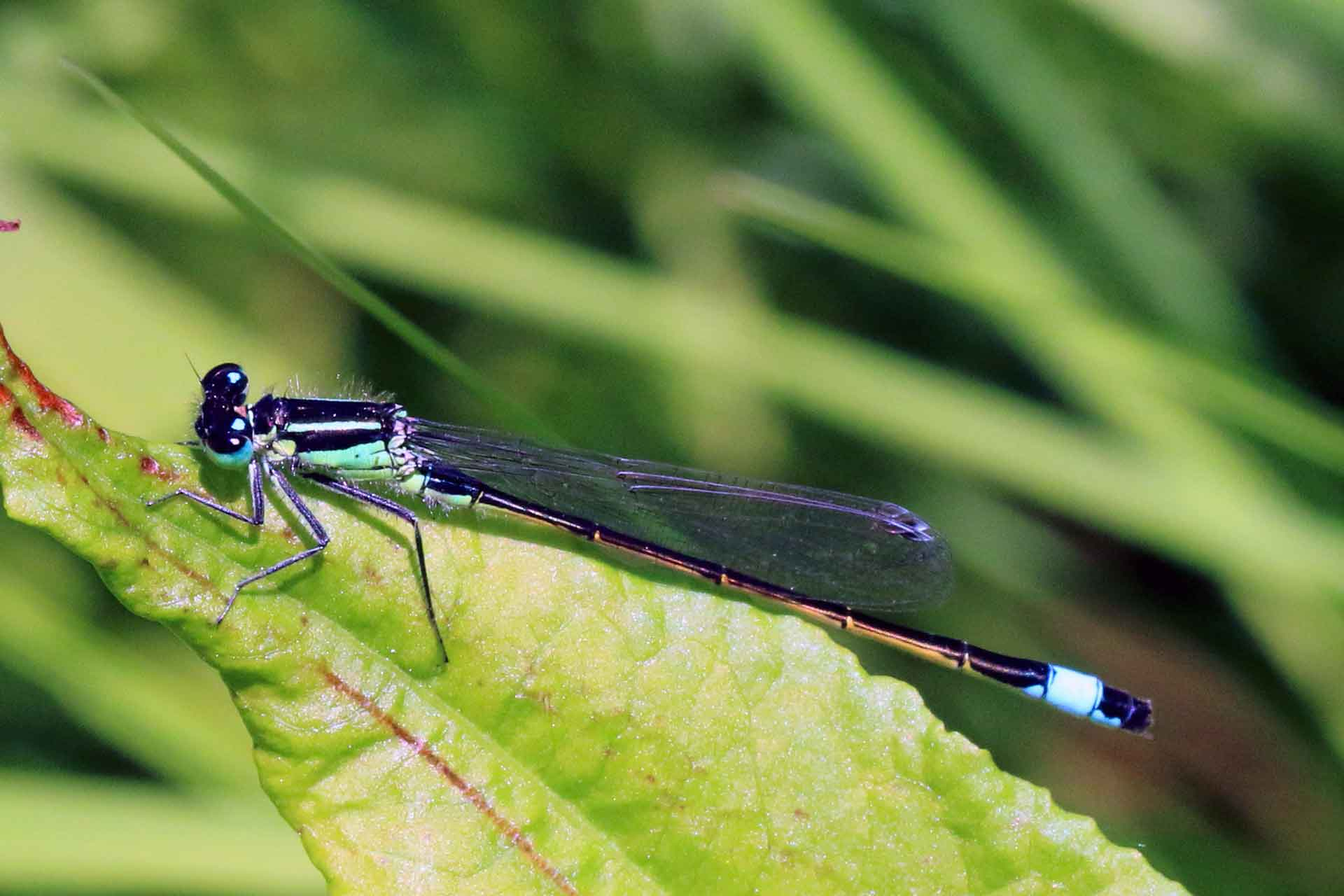 blue tailed damsel fly national insect week