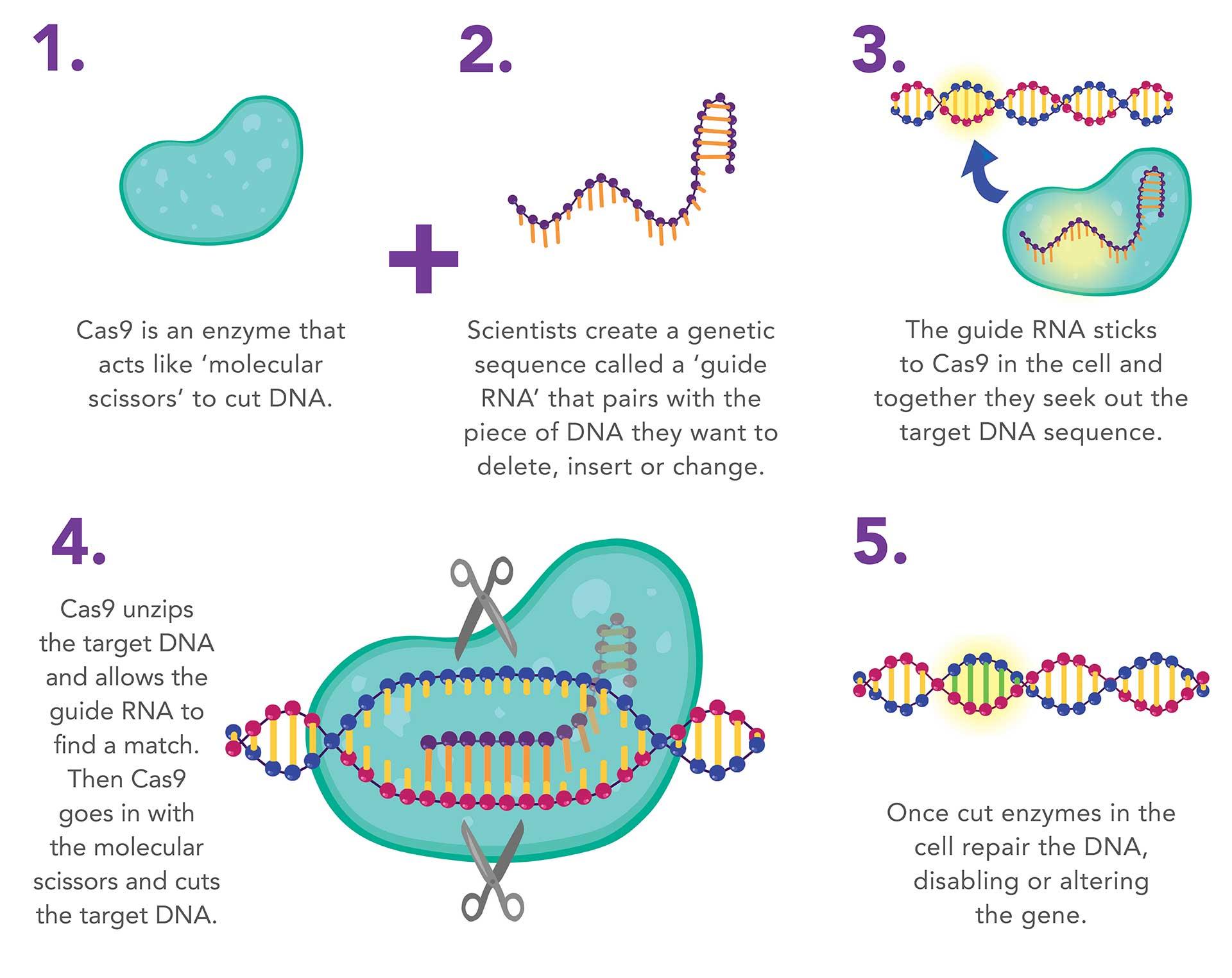 CRISPR-Cas9 illustration