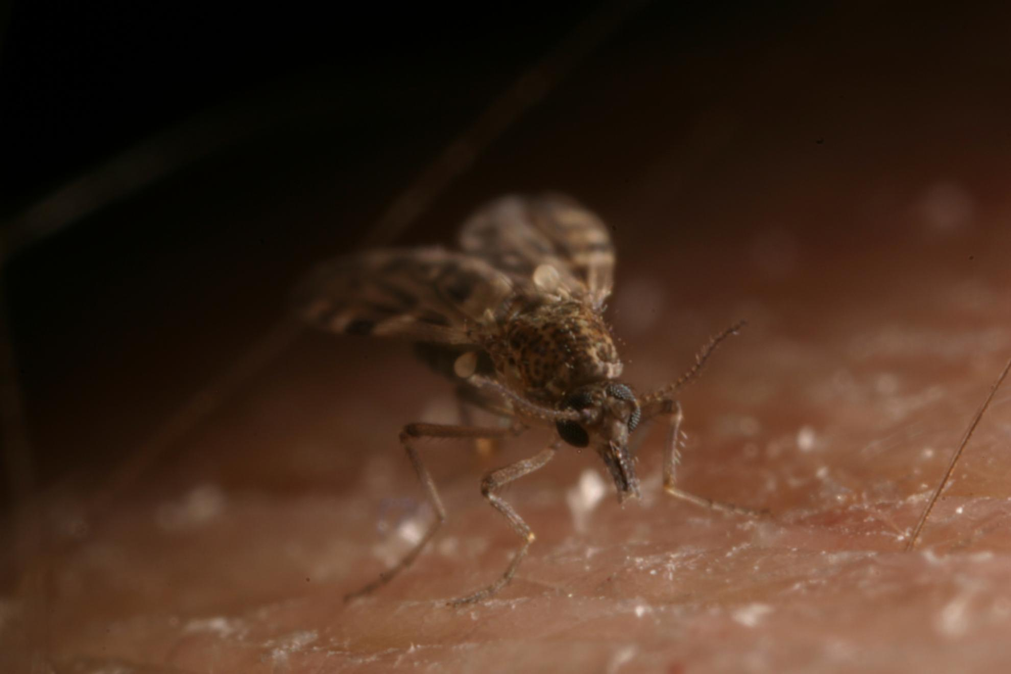 Culicoides sonorensis