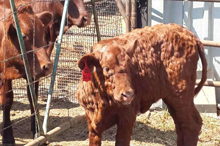 Calf showing clinical signs of lumpy skin disease