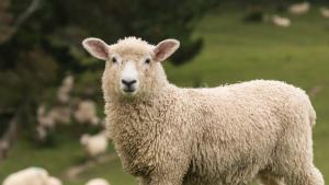 A curious sheep stands alert in grassy field, looking straight a camera