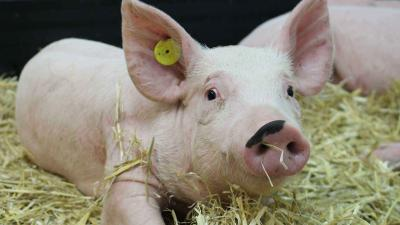 A pig in straw in the high containment animal facilities at The Pirbright Institute