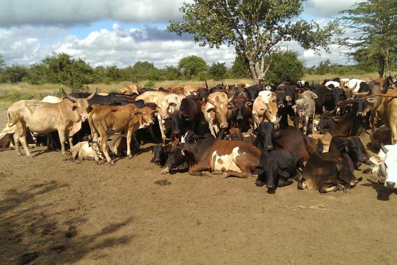 African domestic cows in Tanzania