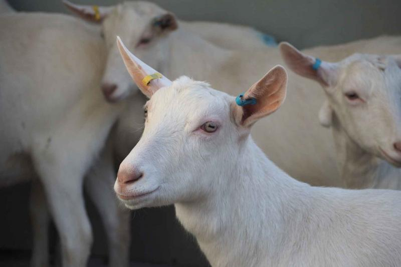white goat in PPRV study