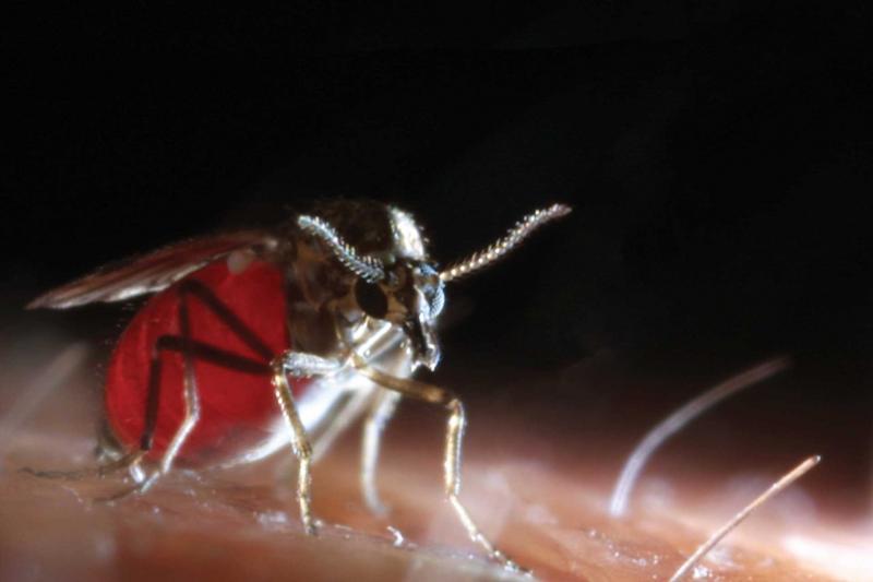 culicoides biting midge feeding on skin