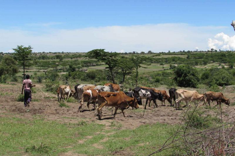 A man herds cows across land in Tanzania