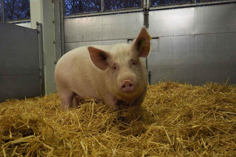 Female pig in hay inside