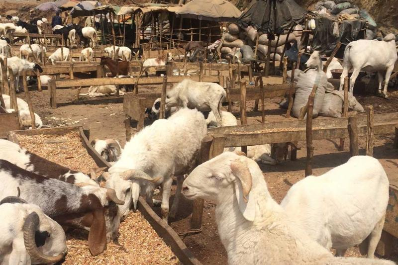 Goats, sheep and cattle at a Nigerian market