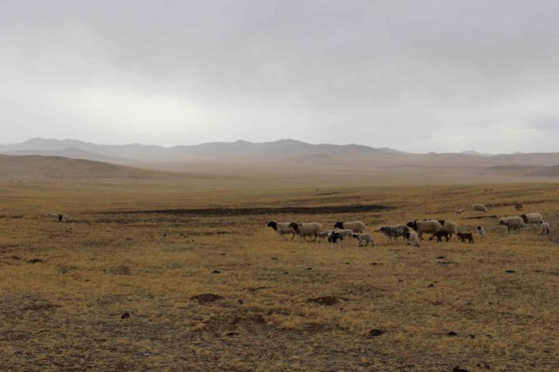 Sheep being moved across the plains in Mongolia by nomadic herders