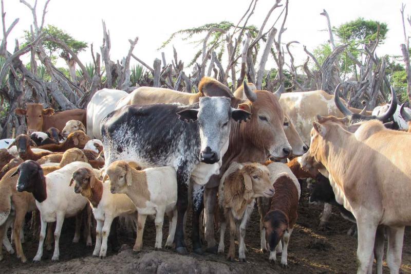 Cattle and goats in Tanzania
