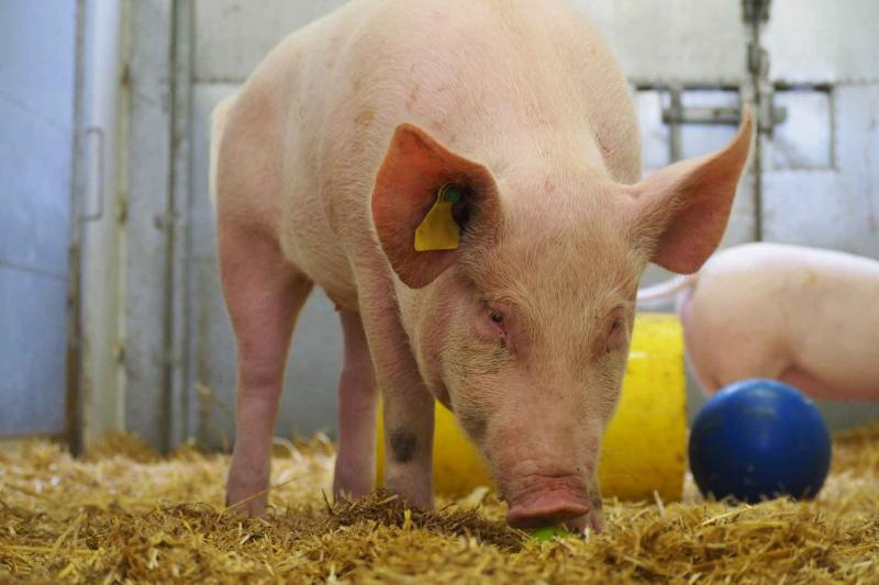 Pig in hay with blue ball