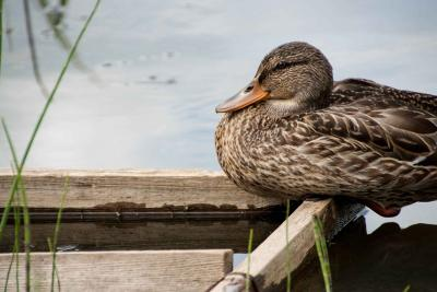 Duck by water