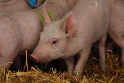 babraham pigs flu