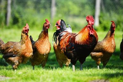 Chickens and cockerel on grass