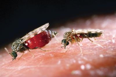Close up of two Culicoides biting midges on human skin