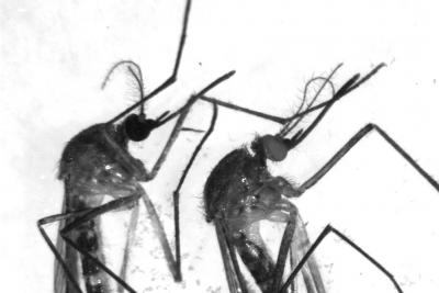 KMO knock-out mosquitoes. One the left with black eyes, on the right with white eyes.