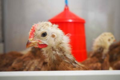 Young chicken looks at the camera side on.
