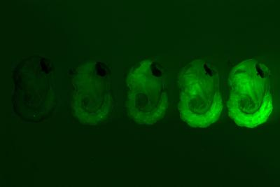 Pupae of the wild-type and four different strains of genetically modified mosquitoes generated in the study. Different intensities of the green fluorescent marker indicate varying levels of the femaleless gene expression knockdown.