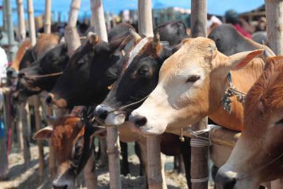 Cows in a Bangladesh market