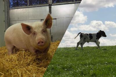 A pig in straw and a calf running in a field