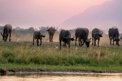 A herd of water buffalo in Asia graze on grass at the water's edge