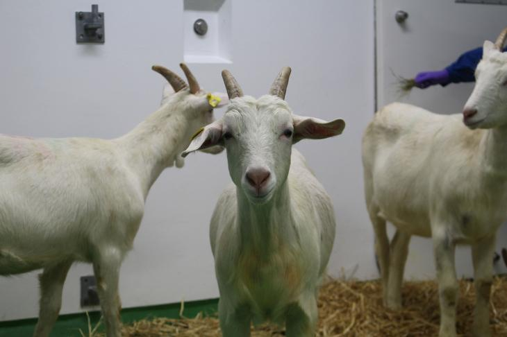 White goats in high containment unit on straw bedding