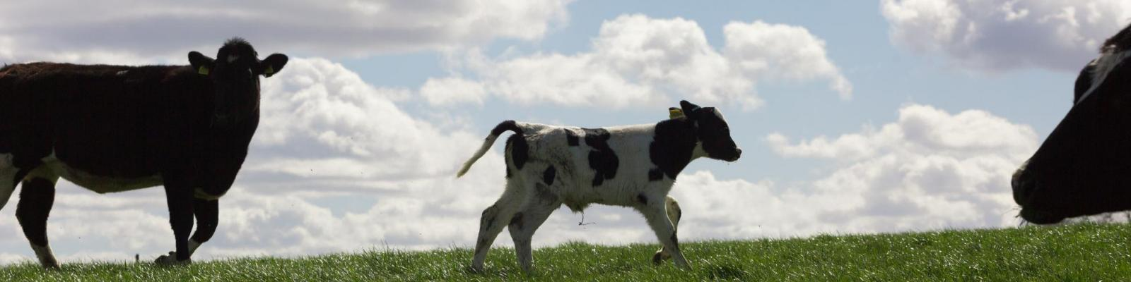 Cows and calf in field against blue sky and cloud