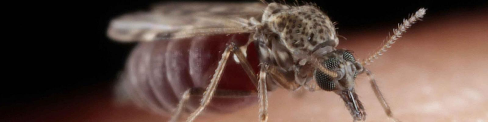 Extreme close up of a Culicoides nubeculosus on skin with blood droplets