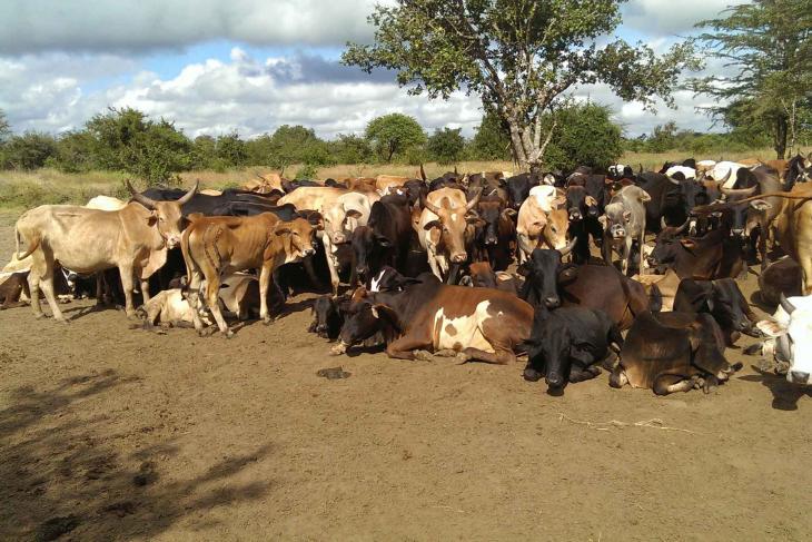 African domestic cows in Tanzania