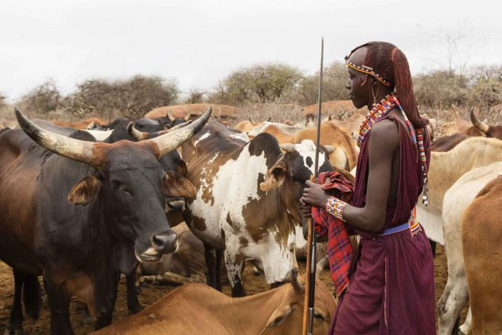 cows in tanzania with Masai tribe