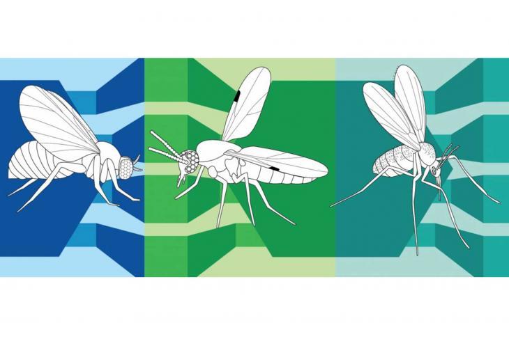 gnatwork three vector species of flies sandflies blackflies midges