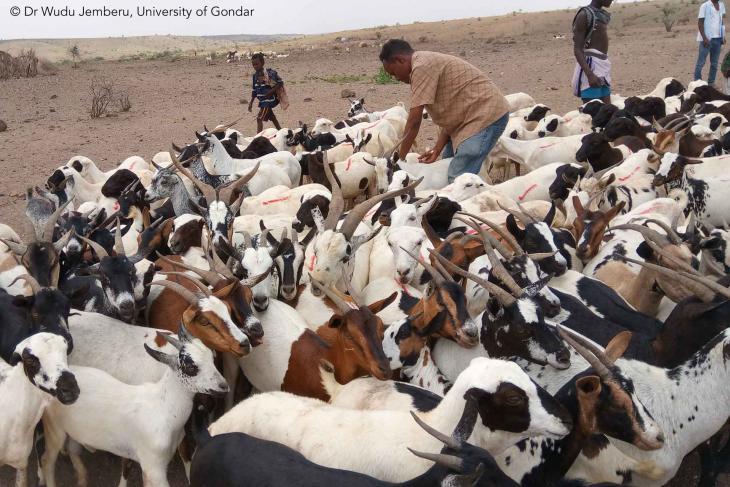 goat vaccination peste des petits ruminants goat plague