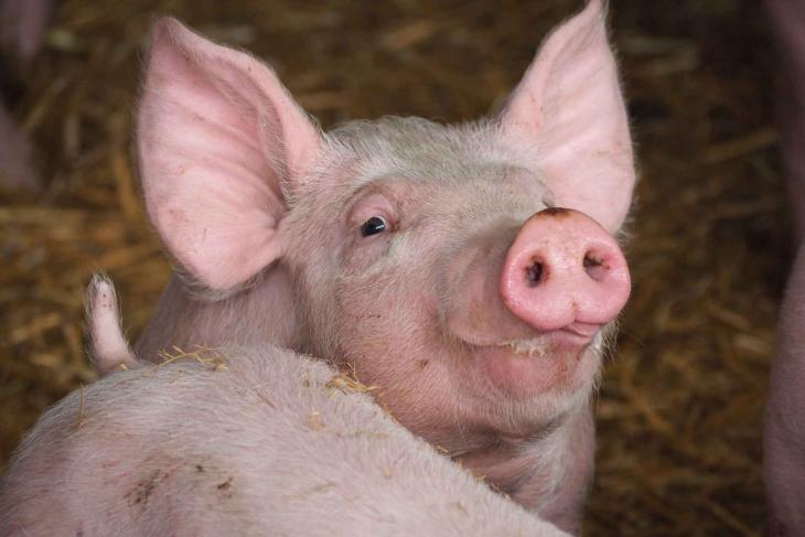 Pig  head tongue pirbright