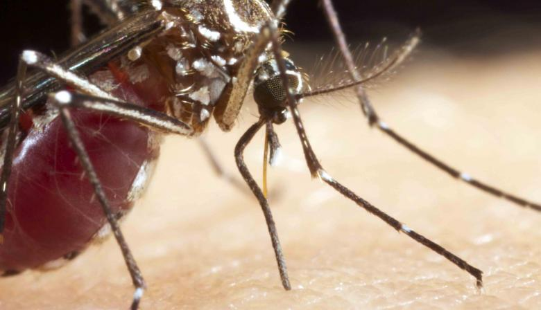 Female mosquito feeding