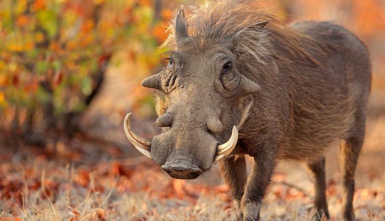 African Swine Fever Virus The Pirbright Institute