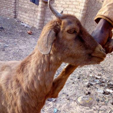 Goat with goatpox clinical signs