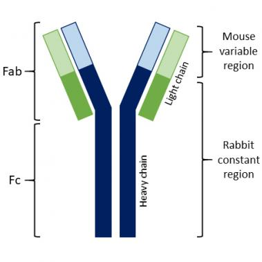 chimeric mouse-rabbit antibody fab fc region