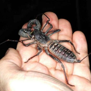 Whip scorpion on a hand