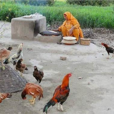 Poultry in a Pakitistani village