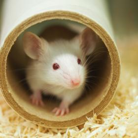 White mouse in cardboard tube