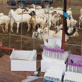 Sheep in the Kenya Rift Valley Fever vaccine trial