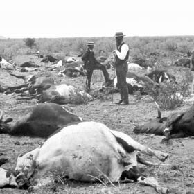 Cows dead from rinderpest in South Africa, 1896