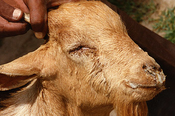 Goat infected with peste des petits ruminants virus